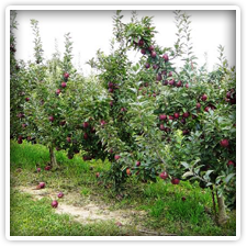Apple Orchard near Elk Forge, Milburn Orchards in Elkton