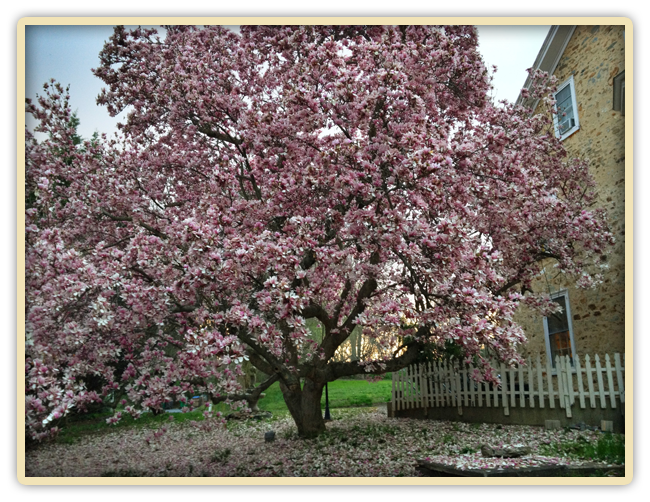 Pink Magnolia Tree at Elk Forge B&B in full bloom in March 2012