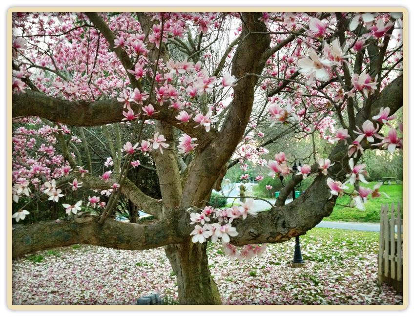 Pink Magnolia Tree in full bloom at Elk Forge Spring 2012