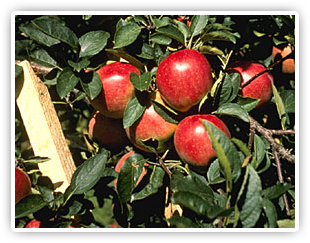 milburn orchards apples Apple Harvest Weekend   September 29 30, 2012